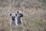 Cachorros de Hiena Manchada (Crocuta crocuta)