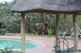 Nyala at pool