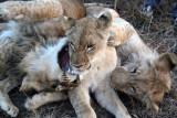 Zimbabwean cubs
