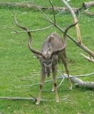 Greater kudu 1
