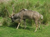 Greater kudu 2