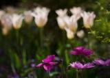 white tulips poppies 50 18.jpg