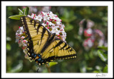 Tiger Swallowtail on Viburnum