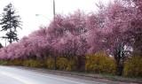 Spring symphony: Cherry and Forsythia