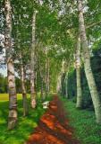 Birch Path  Staint-Gaudens National Park