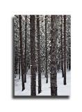 Snow & Trees  #3951