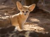 IMG_1565-Fennek fox