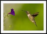 Purple petunia spotting