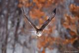 Redtail hawk eye level