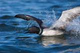 Beginning of the Penguin dance