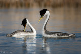 Western Grebes intimate moment