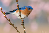 Eastern Bluebird on Pussywillows