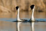 Western Grebe courtship swim