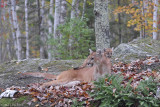 Cougar pair in woods