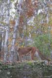Cougar in birch fall scene
