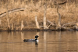 Loon in woodsy element