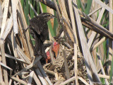 Carouge - Nourrir la famille - Carouge à épaulettes- Red-winged Blackbird - Feeding the family
