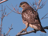 Buse à queue rousse - 071104 - Red-tailed Hawk