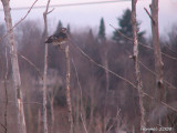 Canard branchu - 2008 - Wood Duck