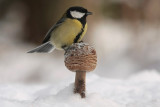 Great tit - Koolmees