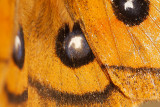 Tauvlinder - Aglia tau