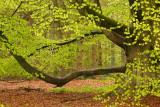 Beech at spring - Beuk, lenteblad