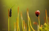 Langsprietmot en Lieveheersbeestje
