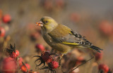 Greenfinch - Groenling