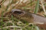 Slow worm - Hazelworm
