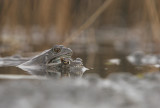 Brown frog - Bruine kikker