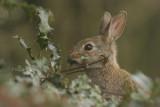 Rabbit - Konijn