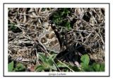 4434 - Vanesse de Virginie - Vanessa virginiensis ( Chicoteaque island )