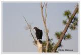 Urubu noir - Coragys atratus ( Alligator river NWR  )