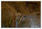Grèbe à bec bigarré - Podilymbus podiceps ( Chincoteaque NWR )