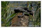 Couleuvre d'eau du Lac Érie - Lake Erie Water Snake