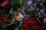 Great Orange Tip butterfly.JPG