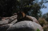 SD Wild Animal Park - The King.JPG