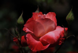 Balboa Park Rose.jpg