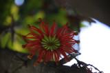 Firewheel Tree.JPG