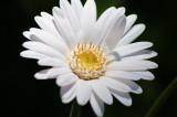 White Gerbera Daisy.JPG
