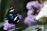 Black White Blue Butterfly.JPG