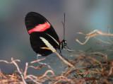 Postman Butterfly.JPG