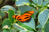 Orange-barred Tiger Butterfly.JPG