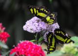 Two Tailed Jay Butterflies.JPG