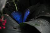 Common Blue Morpho Butterfly.JPG