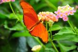 Orange Julia Butterfly.JPG