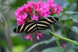 Zebra Longwing Butterfly.JPG