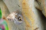Giant Owl Butterfly.JPG