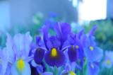 Blue Iris.JPG