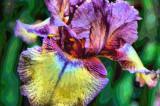 Mom's Bearded Iris.JPG